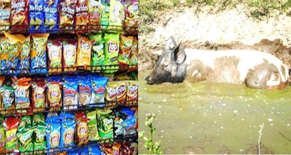 careful You and your kids are eating pig fat 6 – Nalanda Darpan / नालंदा दर्पण : गाँव-जेवार की बात। – गाँव-जेवार की बात।